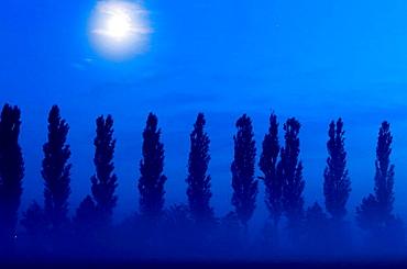 Black poplar alley (Populus nigra) and moon, Franconia, Bavaria, Germany