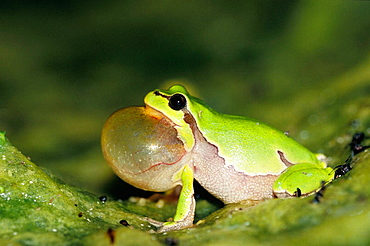 Male Treefrog display with a loud sound in a warm night in May, His call is to hear in two kilometers