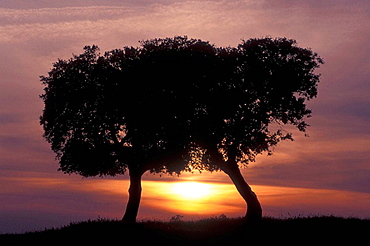 Two Stone Oaks (Quercus ilex) before sunset, Extremadura, Spain