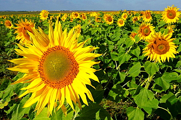 Sunflower field, Sevilla province, Andalucia, Spain