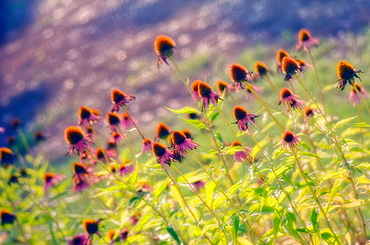 Echinacea Meadow (Echinacea purpurea hybrid), August 2006, Maryland, USA