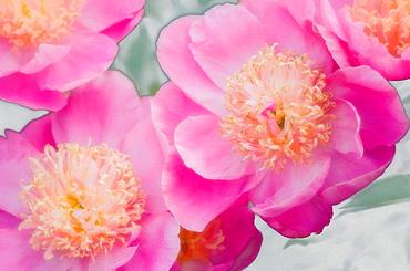 Pink Peonies, Paeonia lactiflora, May 2007, Maryland, USA