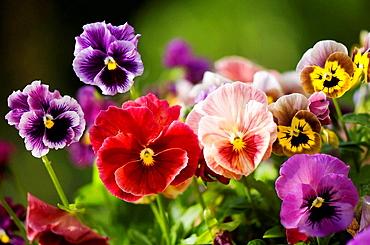Variety of Pansy Flowers, Viola x wittrockiana