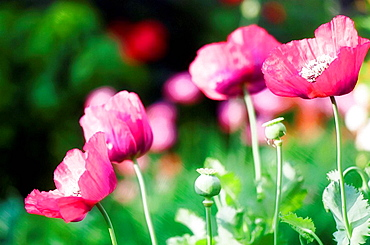 Pink Poppy Flowers and Seedheads, Papaver somniferum paeoniflorum