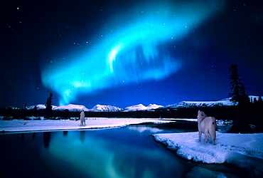 Wolves howling across river, Yukon, Canada