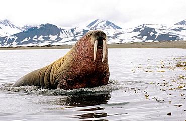 Atlantic walrus in sea (Odobenus rosmarus), Prinz Karl Forland Island, Svalbard, Spitzbergen, Norway