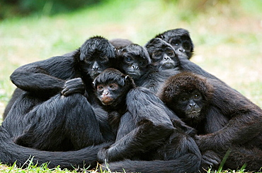 Group of Colombian black spider monkey resting (Ateles fusciceps robustus) Captive, Vulnerable species native to Colombia and Panama