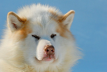 Portrait of a Eskimo Canadian Dog male, Nord West Territories, Canada