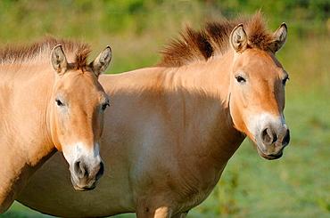 Przewalski horse (Equus ferus Przewalskii) Red list of endangered species