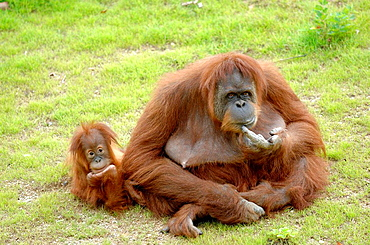 Female Orang utan (Pongo pygmaeus abelli)and her baby,captive, red list of endangered species