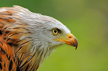 Portrait of Red kite (Milvus milvus) red list of endangered species