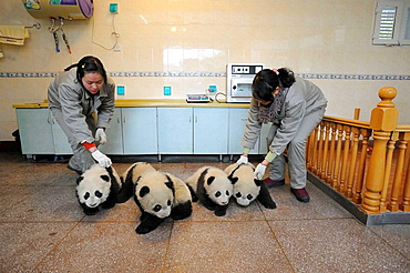 Group of giant panda babies, aged 5 months (Ailuropoda melanoleuca) with keepers in Wolongs nursery, Wolong Nature Reserve, China