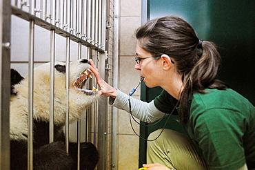 Scientist training with Giant panda, for dental inspection, Zoo Schonbrunn, Austria, 2008 (Ailuropoda melanoleuca)