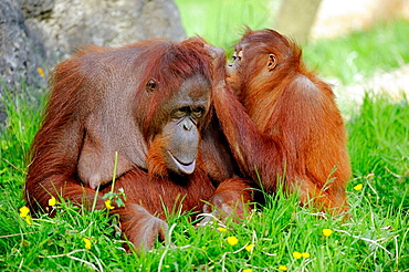 Female orang-utan and her young (Pongo pygmaeus pygmaeus) native to Borneo, captive, IUCN Red list Endangered EN