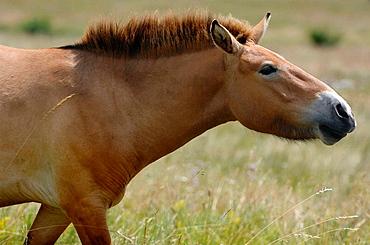 Semi wild Przewalski horse (Equus ferus przewalskii), Parc du Villaret, Causse Mejean, Lozere, France