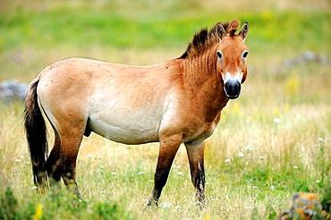 Semi wild Przewalski horse stallion (Equus ferus przewalskii), Parc du Villaret, Causse Mejean, Lozere, France