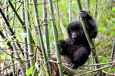 Young mountain gorilla climbing (Gorilla beringei beringei) in the Volcanoes National Park, Rwanda, Africa