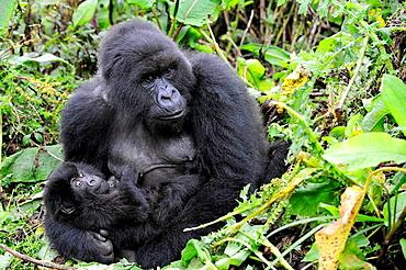 Female mountain gorilla with her baby (Gorilla beringei beringei) Volcanoes National Park, Rwanda, Africa