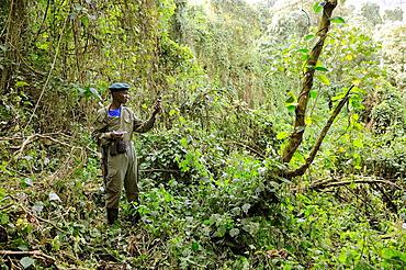 Guard with GPS in the Virunga National Park, habitat of mountain gorilla   (Gorilla beringei beringei) Virunga National Park, Democratic Republic of Congo, Africa