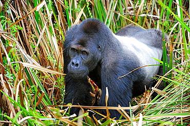 Silverback eastern lowland gorilla in the marshes of Kahuzi Biega Park (Gorilla beringei graueri) Democratic  Republic of Congo, Africa