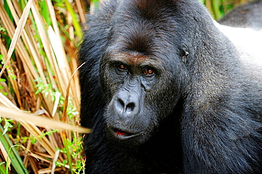 Portrait of silverback eastern lowland gorilla in the marshes of Kahuzi Biega Park (Gorilla beringei graueri) Democratic  Republic of Congo, Africa