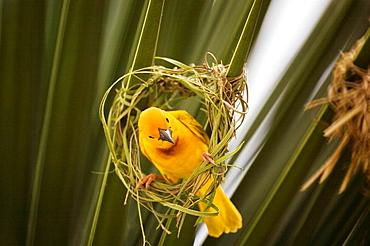 Kenya: yellow parakeet making its nest.