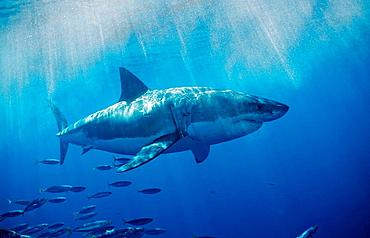 Great White Shark, Carcharodon carcharias, USA, California, Pacific Ocean, Farallon Island, San Francisco Bay