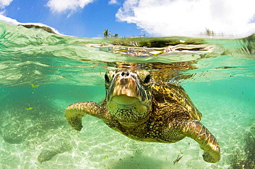 Green Turtle, Chelonia mydas, Oahu, Pacific Ocean, Hawaii, USA - 817-185363