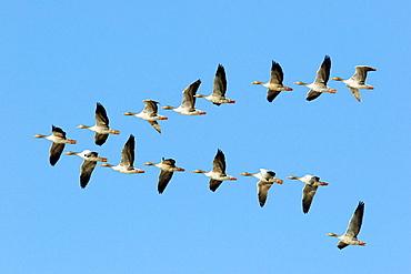 Greylag Goose (Anser anser) , Donana National Park, Huelva province, Andalusia, Spain
