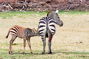 Grants Zebra in Sigean African safari park, France