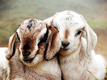 baby goats nuzzling