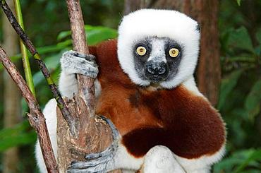 Coquerels sifaka lemur in Ankarafantsika National Park Madagascar