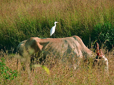 Cattle Egret (Bubulcus ibis) is seating on the back of a bull, eating grass at a farmland, Sinhanghad, Pune, Maharashtra, India