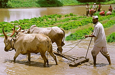 A farmer ploughing a field for cultivation of rice crop in a traditinal way.