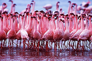 AFRICA, Kenya, Lake Nakuru Lesser Flamingo - Phoeniconaias minor