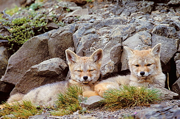 Argentine grey fox (Disicyon griseus) pups