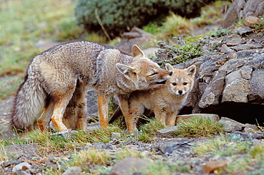South America, Chile, Torres del Paine NP, Argentine grey fox (Disicyon griseus)