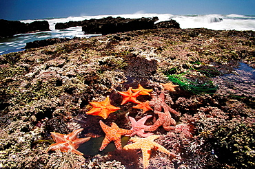Mussels, Gooseneck barnacles, pisaster sea stars and green anemones big sure coast California