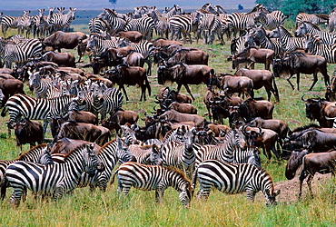 Herds of Gazelle, Zebra, Wildebeest