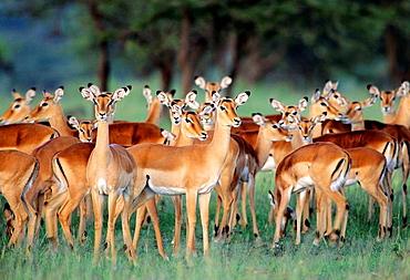 Impalas  Aepyceros melampus