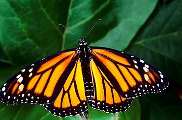 Monarch butterfly Danaus plexippus Migration