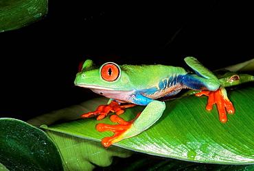 Red-eyed tree frog Agalychnis callidryas,