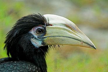 Oriental Pied Hornbill, Anthracoceros albirostris, bird, Manas National Park, Assam India