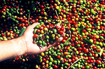 Chiapas coffee, Chiapas has the perfect clima for its growing, 72000 producers work in 1700 communities, especially in Soconusco and the North centre of the state, Mexico