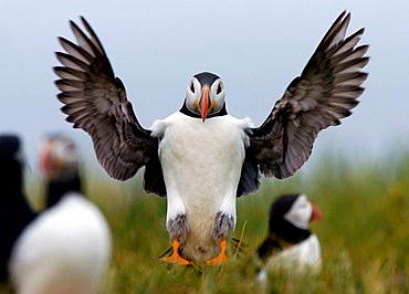 Puffin landing on the Farne Islands, Northumberland, England, UK