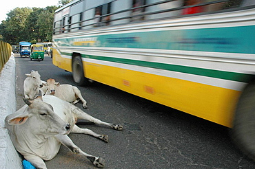 Delhi, India: cows sitting on the road by a running bus