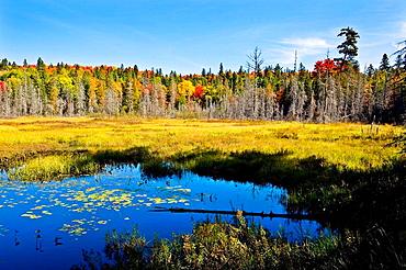 Marsh, Algonquin Park in Fall, Ontario, Canada