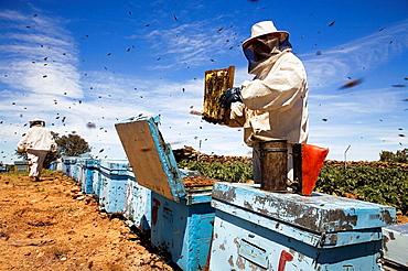 Beekeepers working with hives, Beekeeping in the Arribes del Duero Natural Park, Hinojosa del Duero, Salamanca, Castilla y Leon, Spain