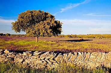 Quercus ilex, Zafron, Salamanca province, Castilla-Leon, Spain