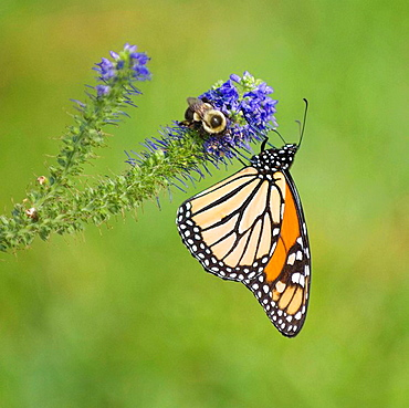 Monarch butterfly and Bumble Bee feeding on a salvia flower in a garden